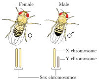 200px-Drosophila_XY_sex-determination.svg